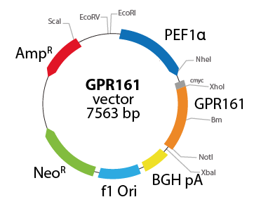 G protein-coupled Receptor 161