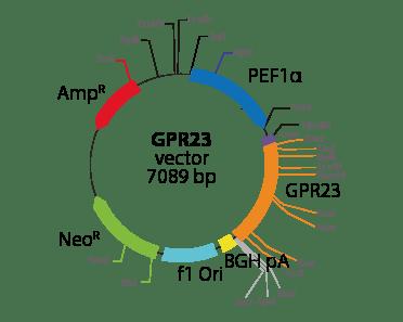 Lysophosphatidic Acid Receptor 4