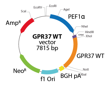 G protein-coupled Receptor 37