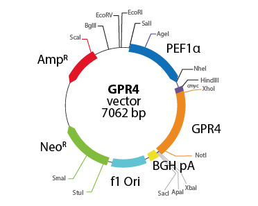 G protein-coupled Receptor 4
