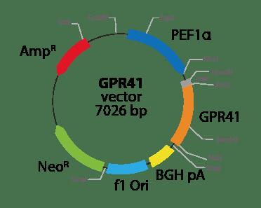 Free Fatty Acid Receptor 3