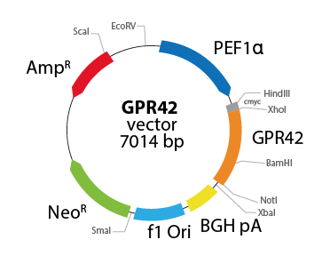 G protein-coupled Receptor 42