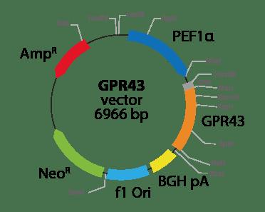 Free Fatty Acid Receptor 2