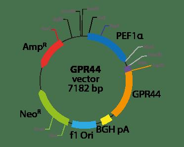 Prostaglandin D2 receptor 2