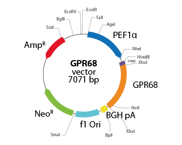 G protein-coupled Receptor 68