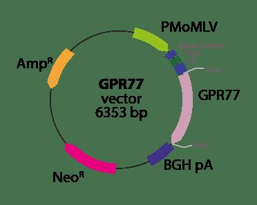 Anaphylatoxin GPR77