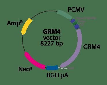 Metabotropic Glutamate Receptor 4