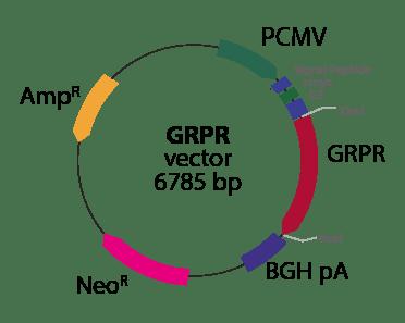 Gastrin Releasing Peptide Receptor