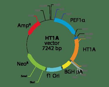 5-hydroxytryptamine (serotonin) Receptor 1A