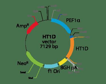 5-hydroxytryptamine (Serotonin) Receptor 1D