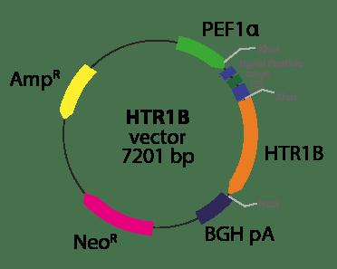 Serotonin Receptor 1B