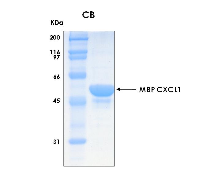Human CXCL1 (Growth-regulated Alpha Protein), MBP tag