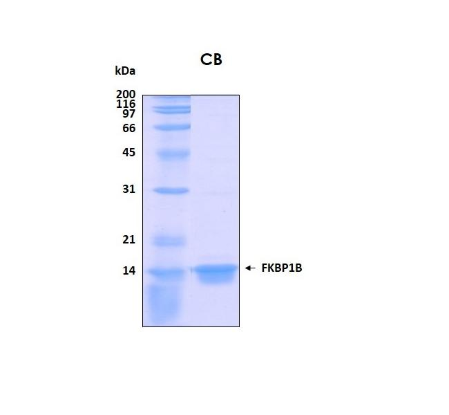 Human FKBP12 (Calstabin 1), GST tag removed