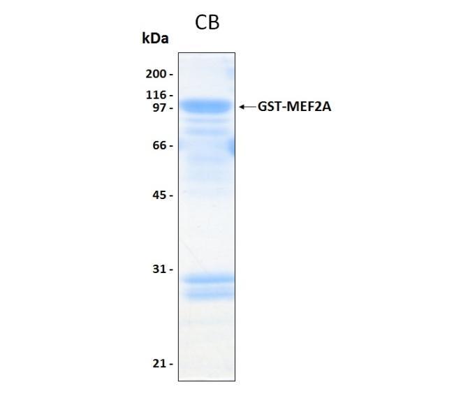 Human MEF2A (MEF2A) (Sf9-Baculovirus), GST tag