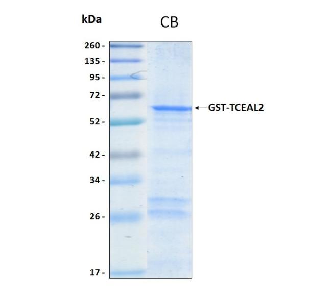 Human TCEAL2 (Sf9-Baculovirus), GST tag