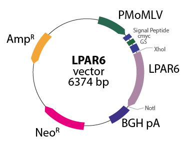 Lysophosphatidic Acid Receptor 6