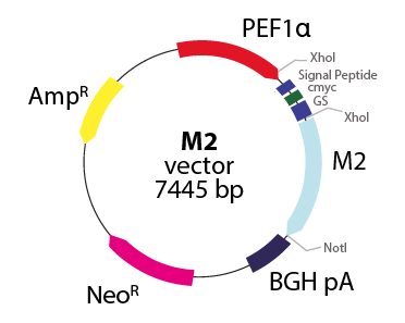 Muscarinic 2 Receptor