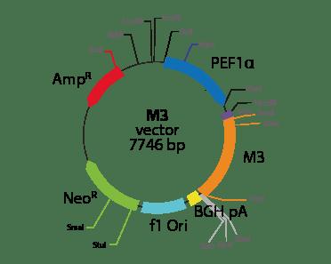 Cholinergic Receptor, Muscarinic 3