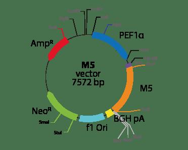 Cholinergic Receptor, Muscarinic 5