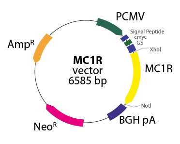 Melanocortin 1 Receptor