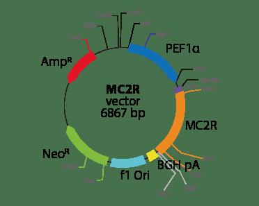 Melanocortin 2 Receptor