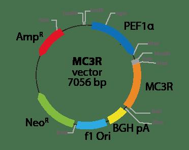Melanocortin 3 Receptor