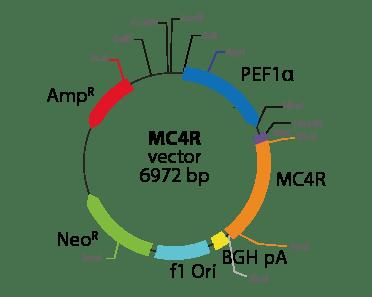 Melanocortin 4 Receptor