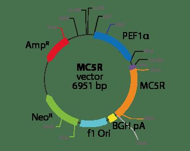 Melanocortin 5 Receptor