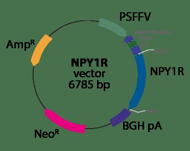 Neuropeptide Y Receptor 1