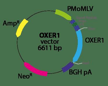 Oxoeicosanoid (OXE) Receptor 1