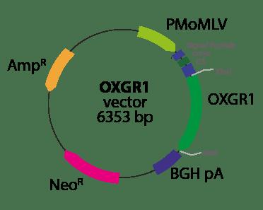 Oxoglutarate Receptor 1