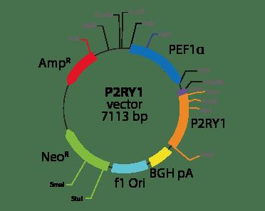 Purinergic Receptor P2RY1