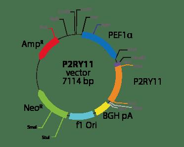 Purinergic Receptor P2RY11