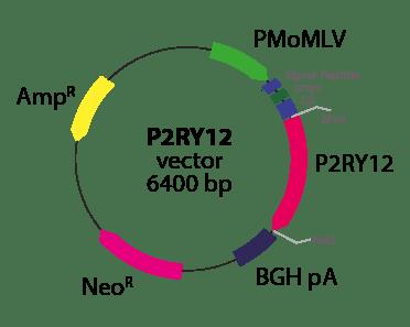 Purinergic Receptor P2RY12