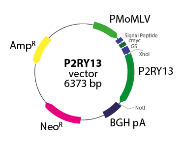 Purinergic Receptor P2RY13