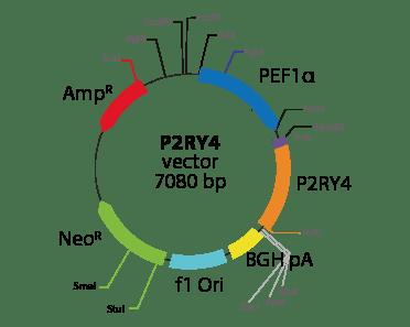 Pyrimidinergic Receptor P2RY4