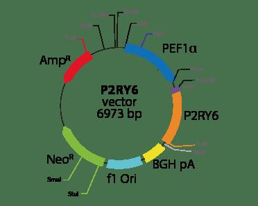 Pyrimidinergic Receptor P2RY6