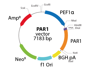 Coagulation Factor II (Thrombin) Receptor