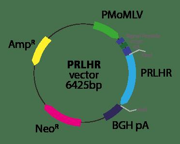 Prolactin Releasing Hormone Receptor