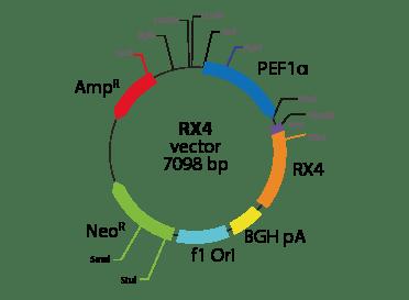Relaxin Insulin-like Family Peptide Receptor 4