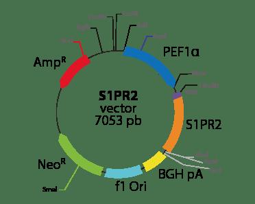 Sphingosine-1-Phosphate Receptor 2