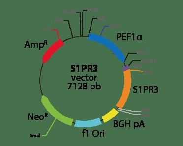 Sphingosine-1-Phosphate Receptor 3