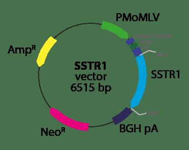 Somatostatin Receptor 1