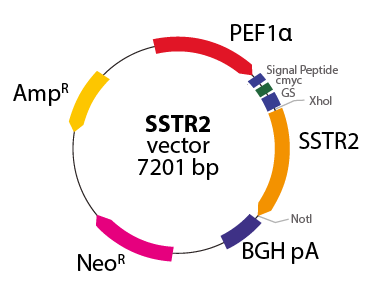 Somatostatin Receptor 2