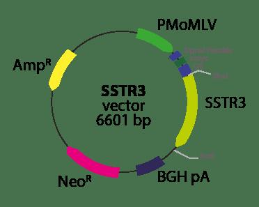 Somatostatin Receptor 3