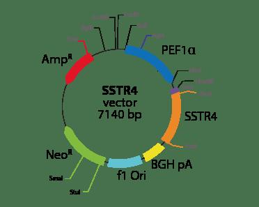 Somatostatin Receptor 4