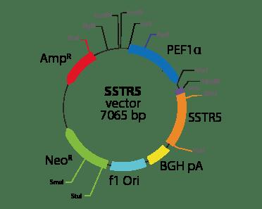 Somatostatin Receptor 5