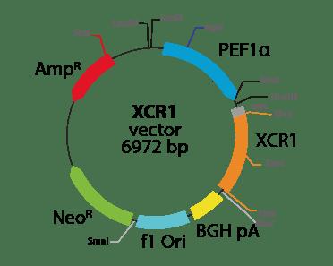 Chemokine (C motif) Receptor 1