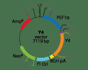 Neuropeptide Y Receptor Y4