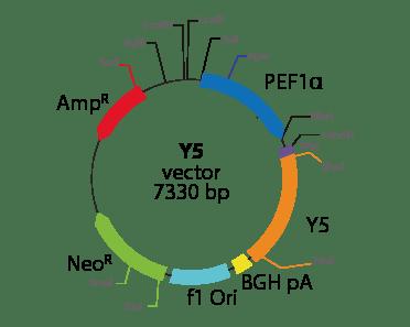Neuropeptide Y receptor Y5